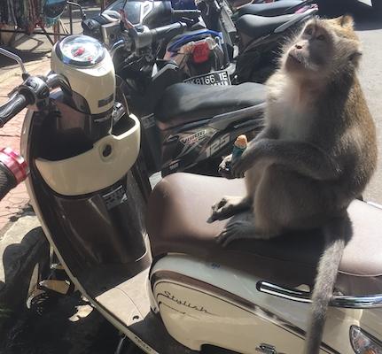 scimmia su uno scooter a Bali