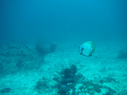 angel fish diving at the shark point in Gili Islands