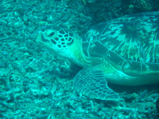 close up photo of a green turtle diving at the shark point in Gili Islands