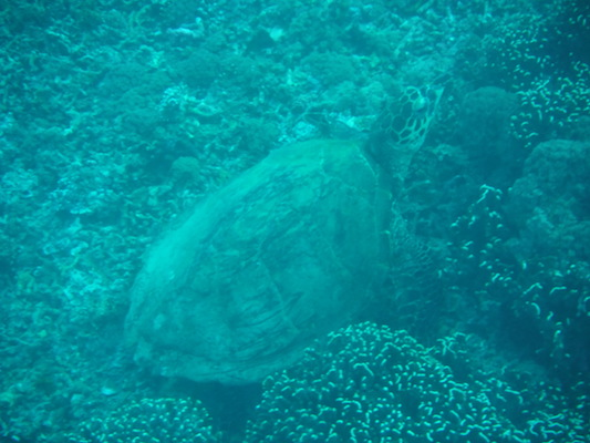green turtle diving at the shark point in Gili Islands