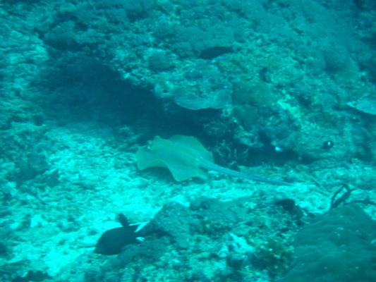 razza in immersione a Shark point nelle Isole Gili