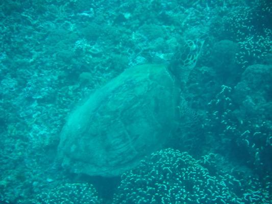 tartaruga marina in immersione a Shark point nelle Isole Gili