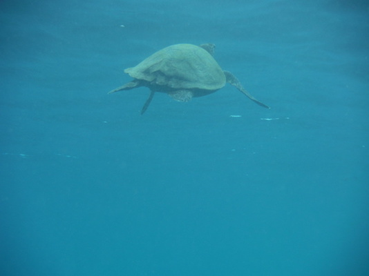 tartaruga marina che nuota verso la superficie in immersione a Shark point nelle Isole Gili