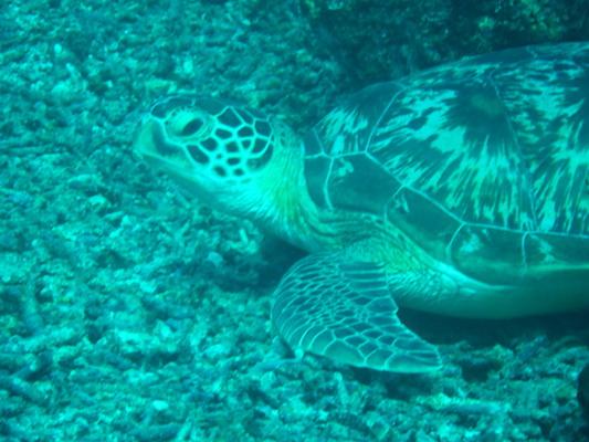 primo piano di una tartaruga marina in immersione a Shark point nelle Isole Gili