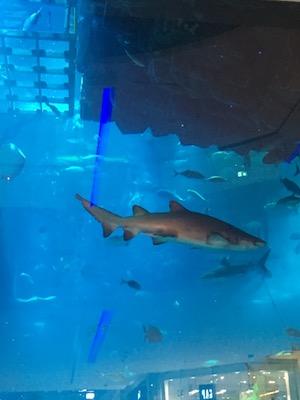 Shark in the aquarium inside the Dubai Mall