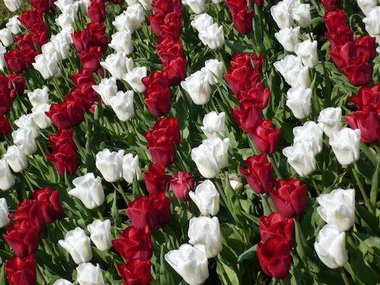 Tulipani Bianchi e Rossi nel Parco di Keukenhof