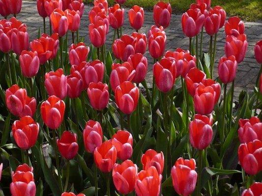 Campo di Tulipani nel Parco di Keukenhof