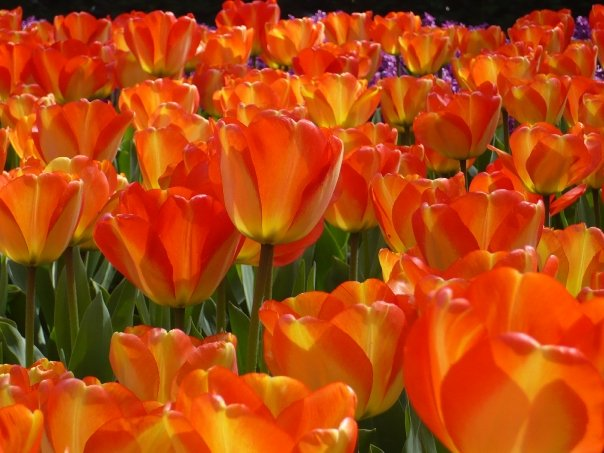 the Orange Colours of the Tulips in the Keukenhof Park
