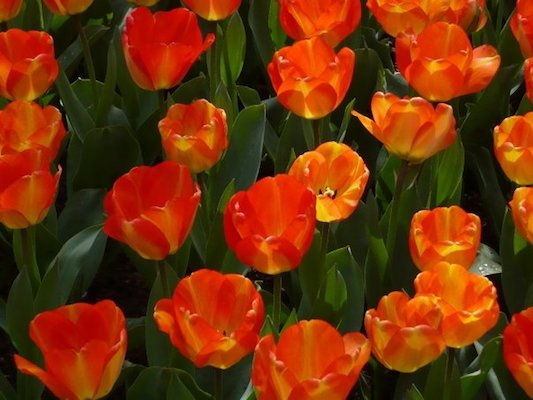 Orange and Yellow Tulips in the Keukenhof Park