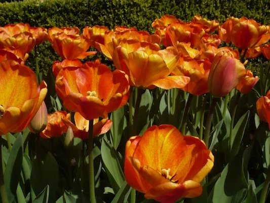 Orange Tulips in the Keukenhof Park