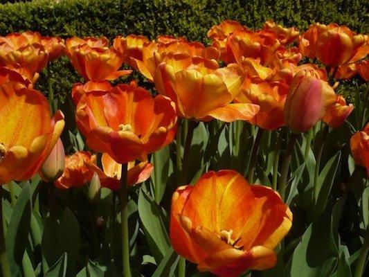 Orange Tulips in the Keukenhof Park