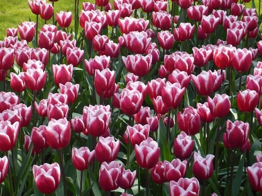 Pink Tulips in the Keukenhof Park