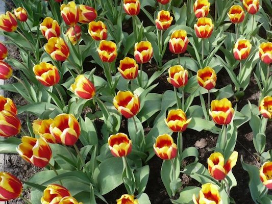 Red and Yellow Tulips in the Keukenhof Park