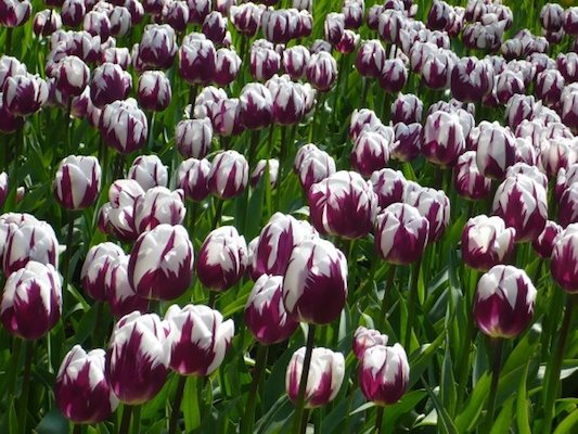 White and Puple Tulips in the Keukenhof Park