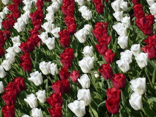 White and Red Tulips in the Keukenhof Park