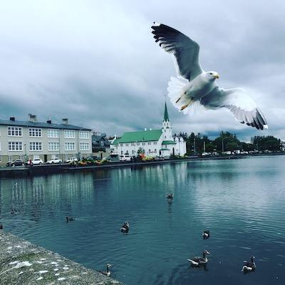 Gabbiano spicca il volo al lago Tjornin di Reykjavik