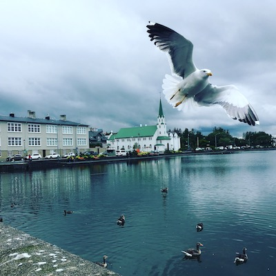 A seagull flying at Tjornin Lake in Reykjavik