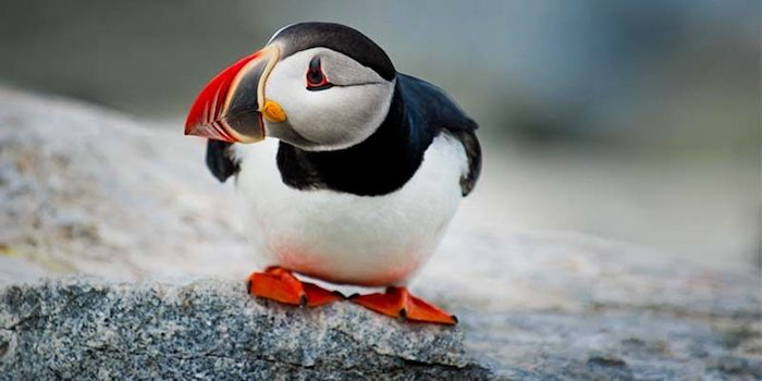 Puffin at the Faroe Islands