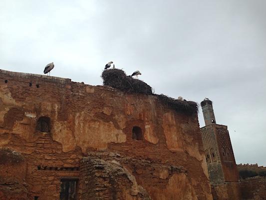 Le cicogne del sito archeologico di Chellah