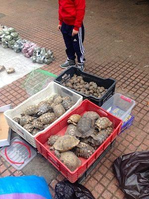 Tartarughe nella medina di Rabat