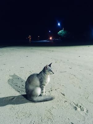 Cat of Dhiffushi