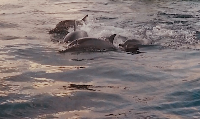 Dolphins near Dhiffushi