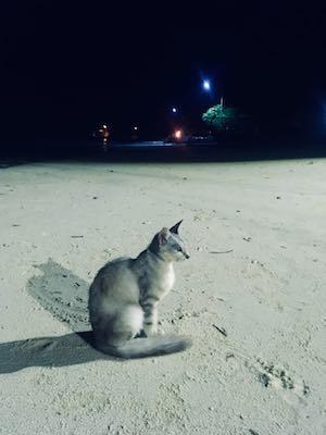 Gatto scroccone di Dhiffushi