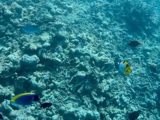 Pesci Chirurgo e Pesci Farfalla durante lo snorkeling a Dhiffushi