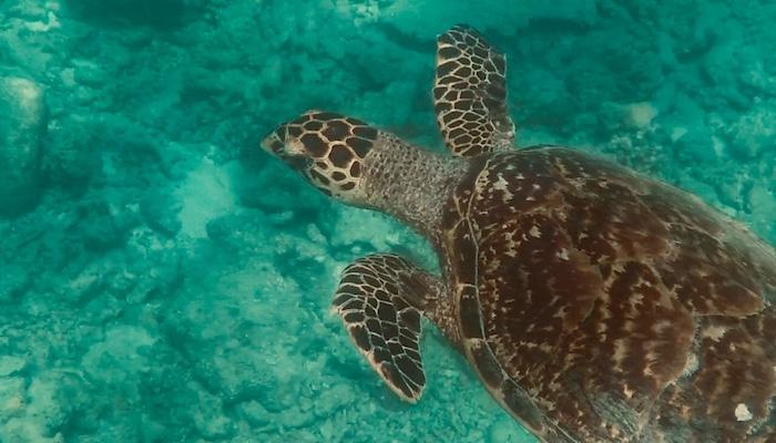 Snorkeling con le tartarughe a Dhiffushi