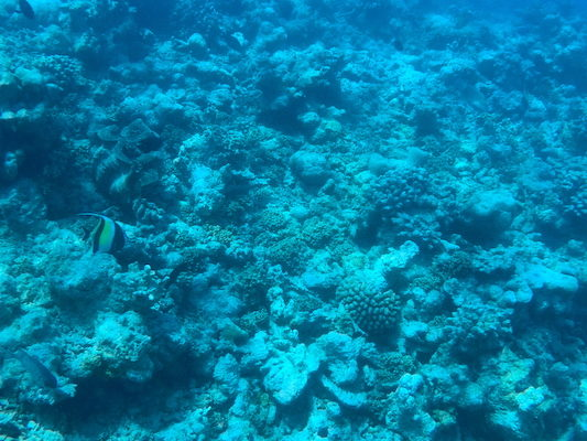 Idolo moresco durante lo snorkeling a Dhiffushi