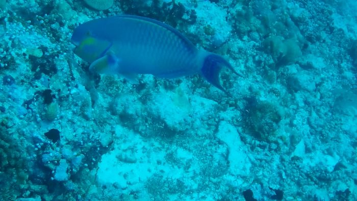 Parrot Fish while diving in Stairs