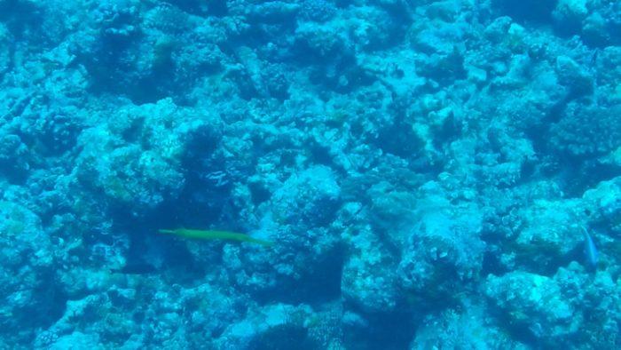 Pesce Flauto nel punto di immersione di Stairs