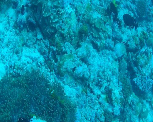 Pesce Pagliaccio nel punto di immersione di Stairs