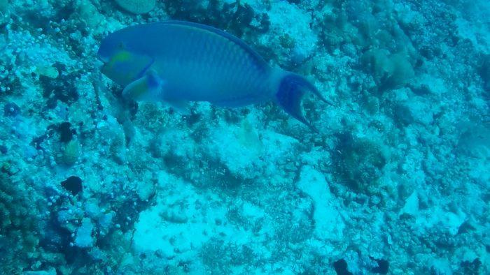 Pesce Pappagallo nel punto di immersione di Stairs