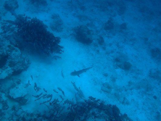 Squalo Pinna Bianca nel punto di immersione di Stairs
