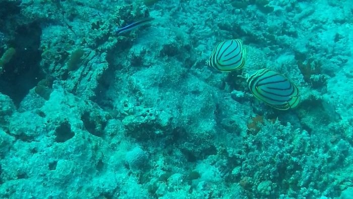 Butterfly Fishes while diving at West Rock Wreck