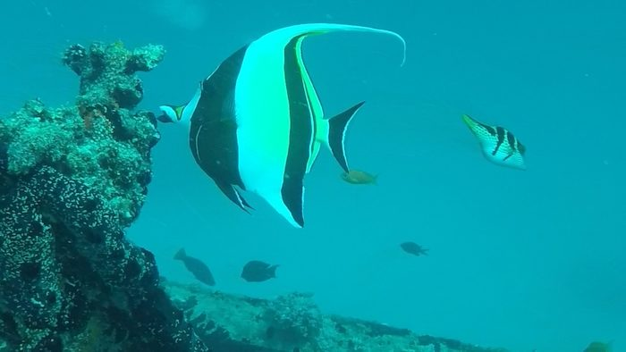 Moorish Idol while diving at West Rock Wreck