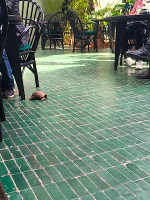Tartarughe che gironzolano per il ristorante Le Jardin di Marrakech
