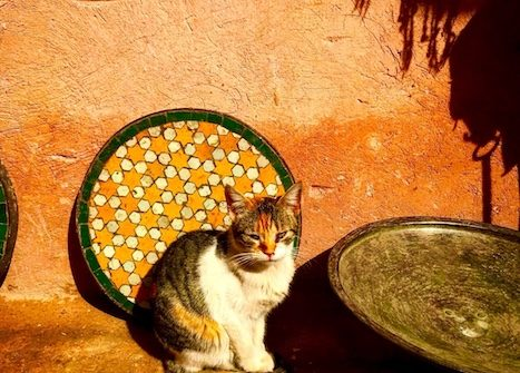 One of the cats of Morocco posing in the medina of Marrakech