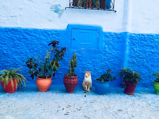 A cat between the colorful power pots in the medina of Chefchaouen