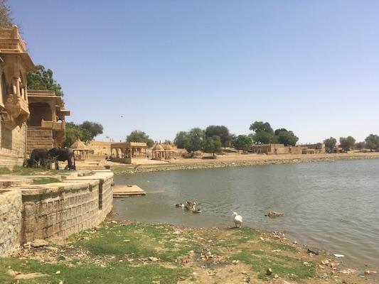Cows and ducks at Gadisar Lake