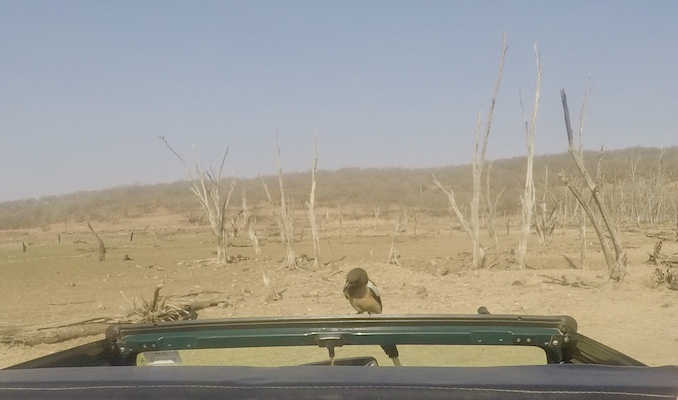 A treepie saying hi to us on our jeep safari in Ranthambore National Park
