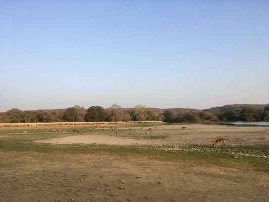 Deers in Ranthambore National Park while we wait for the tiger attack from the steppe