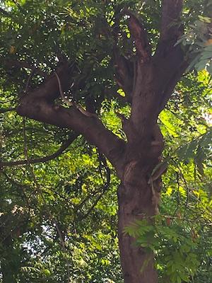 Cobra su un albero ad Agra in India